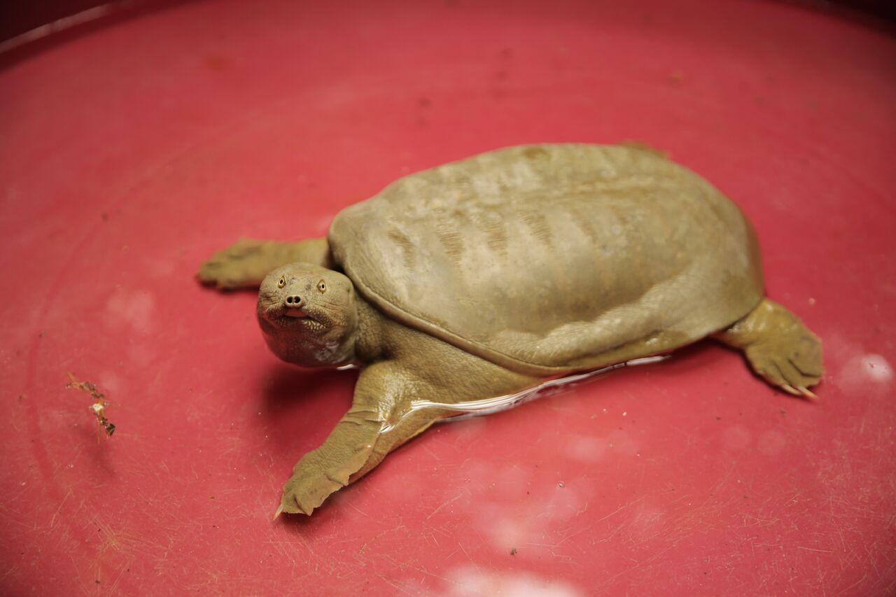 Tartaruga Dal Guscio Molle.Tartaruga Dal Guscio Molle Che Attacca Gli Altri Animali
