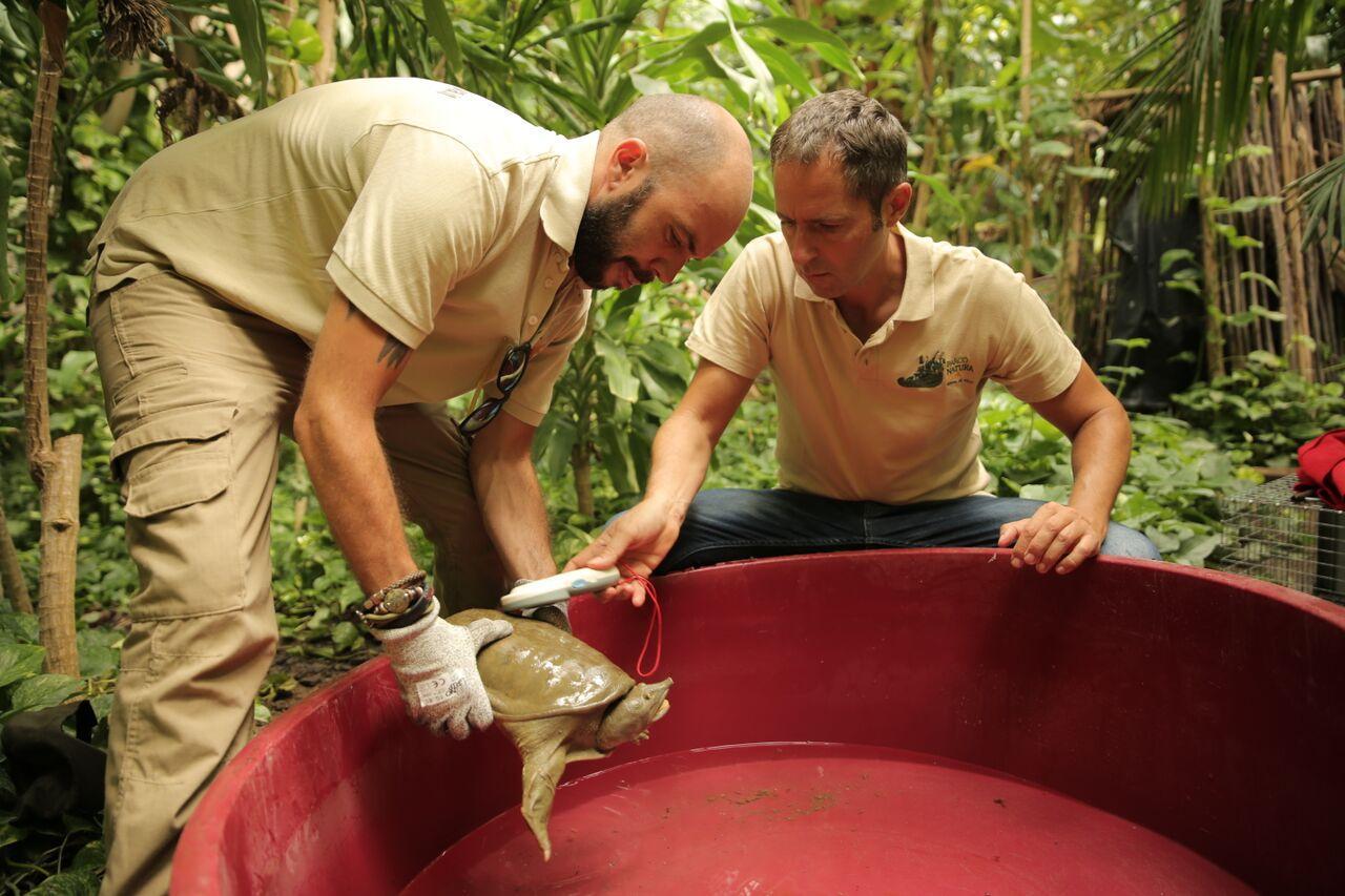 Tartaruga Dal Guscio Molle.Tartaruga Dal Guscio Molle Che Attacca Gli Altri Animali Catturata