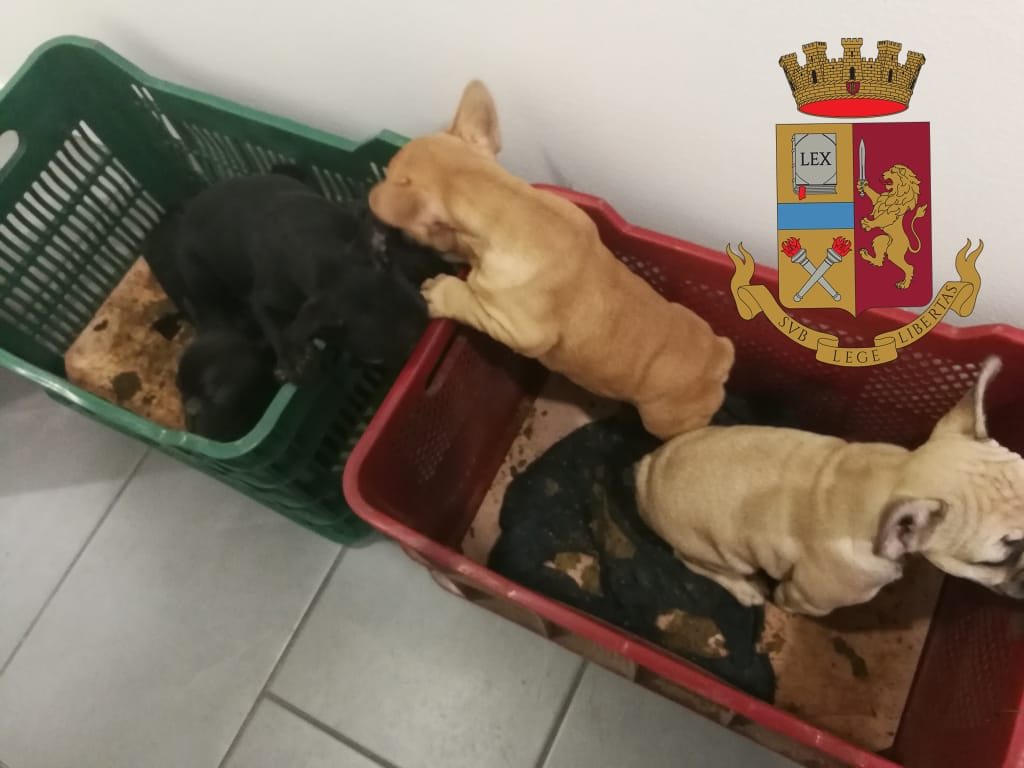 Treviso Fermato Furgone Di Contrabbandieri Avevano Bulldog