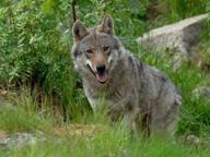 Altopiano, la regione Veneto installa recinto elettrificato contro i lupi