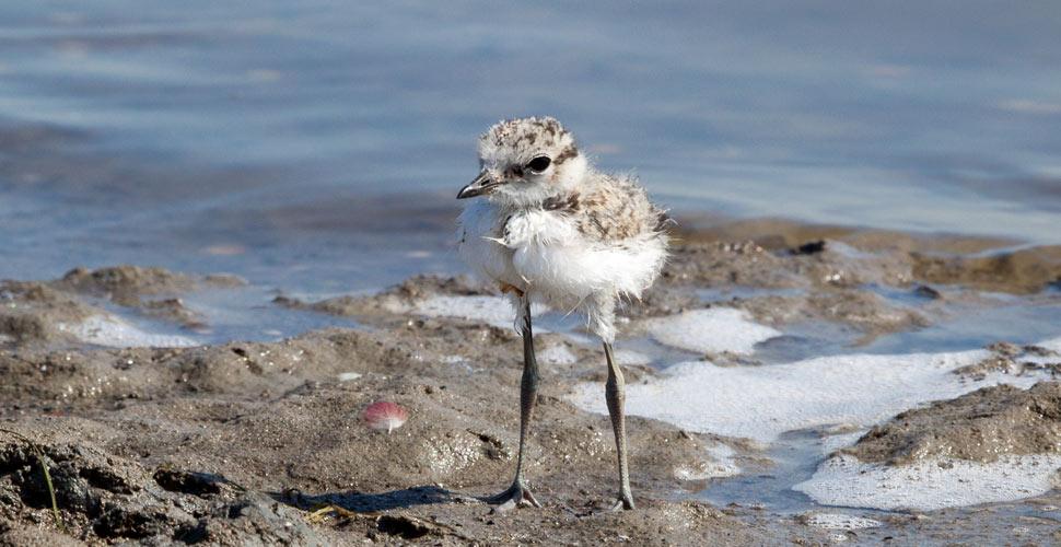 Il fratino è una specie a rischio dopo le maree della scorsa settimana (archivio)