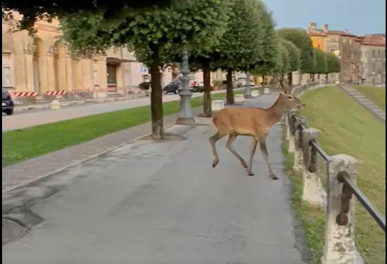 Il cervo filmato a Bassano